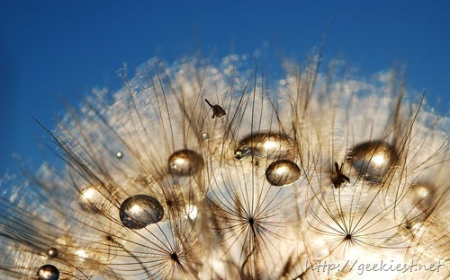 Seed heads of Tragopogon, also known as Goatsbeard or Salsify, serve as parachutes for seed dispersal