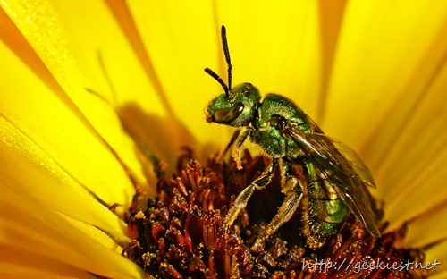 Macro of iridescent green bee in the center of a bright yellow flower