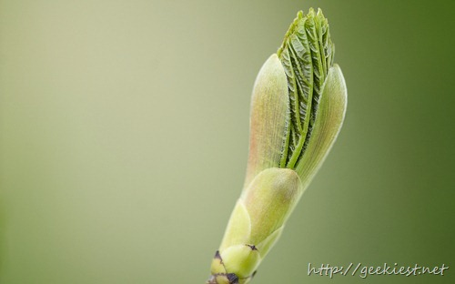 Bud on tree opening