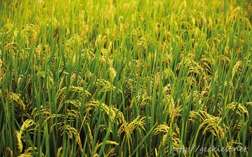 嘉南平原稻田 (The rice fields of the Jianan Plain)