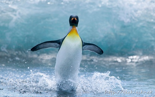 King Penguin Standing in Surf