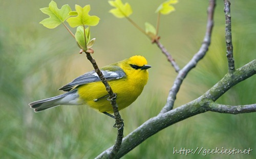 Blue-winged Warbler (Vermivora cyanoptera) perched on a branch, near Long Point, Ontario, Canada