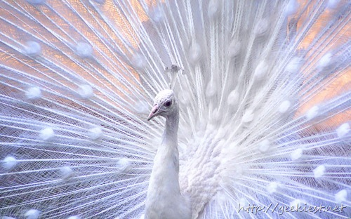 White peacock, close-up