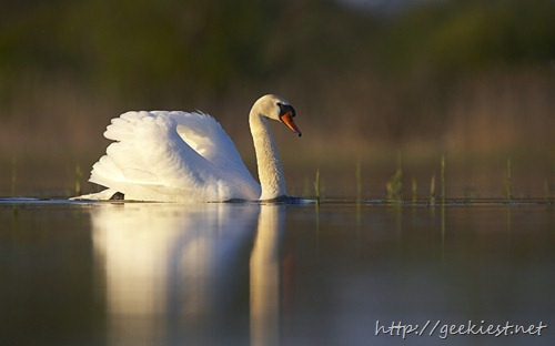 Mute swan (Cygnus olor) in pond, evening