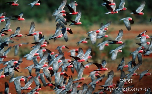 Flock of rose-breasted cockatoos in Australia