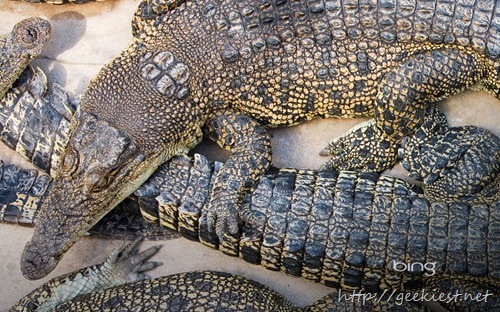 Crocodiles at Crocodylus wildlife park, Darwin, Northern Territory, Australia