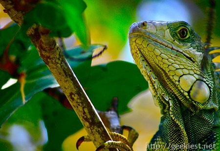earth-day-photo-contest-winner-Iguana