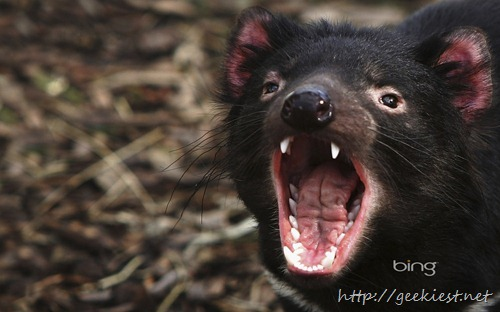 A Tasmanian Devil bears it's teeth at a quarantine facility in Hobart, Australia